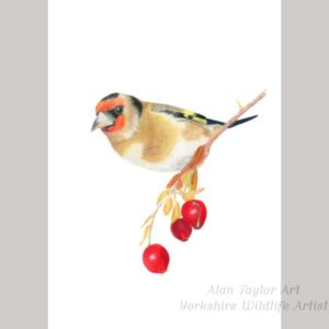Goldfinch and Kingfisher colour pencil drawings by Alan Taylor Art
