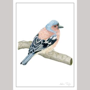 Chaffinch fine art greetings card by Alan Taylor Art