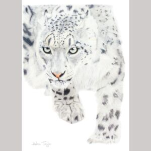 Snow leopard greeting card by Alan Taylor Art