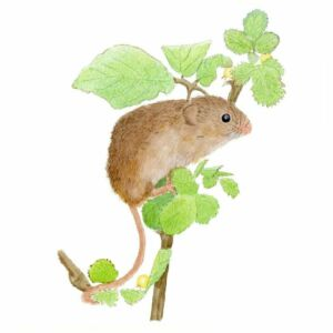 Harvest mouse giclee print by Alan Taylor Art